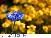 Василёк синий. Стоковое фото, фотограф Накип Садыков / Фотобанк Лори