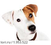 Купить «Джек-рассел терьер», фото № 1953522, снято 4 сентября 2010 г. (c) Василий Вишневский / Фотобанк Лори