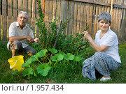 Купить «Пожилая пара на даче собирает крыжовник», фото № 1957434, снято 15 июля 2010 г. (c) Юлия Кузнецова / Фотобанк Лори