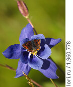 Купить «Бабочка на цветке водосбора», фото № 1960778, снято 18 августа 2010 г. (c) Andrey M / Фотобанк Лори