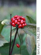 Купить «Ягоды женьшеня», фото № 1962398, снято 4 октября 2006 г. (c) Ольга Липунова / Фотобанк Лори