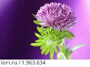 Купить «Цветы Астры», фото № 1963634, снято 3 сентября 2010 г. (c) Михаил Митин / Фотобанк Лори