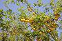 Желтые сливы, фото № 1973702, снято 4 августа 2010 г. (c) Наталья Волкова / Фотобанк Лори