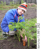 Уборка урожая. Женщина выдёргивает морковь. Стоковое фото, фотограф VPutnik / Фотобанк Лори