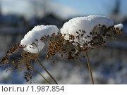 Укроп под снегом. Стоковое фото, фотограф Александр Фёдоров / Фотобанк Лори