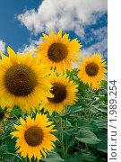 Купить «Подсолнечники», фото № 1989254, снято 26 мая 2009 г. (c) Василий Нижников / Фотобанк Лори