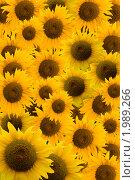 Купить «Подсолнечники», фото № 1989266, снято 31 июля 2010 г. (c) Василий Нижников / Фотобанк Лори