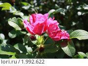 Купить «Розы шиповника», фото № 1992622, снято 19 июня 2010 г. (c) Наталья Блинова / Фотобанк Лори