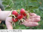 Веточка с ягодами шиповника на детской руке. Стоковое фото, фотограф Игнатьева Алевтина / Фотобанк Лори