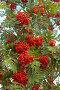 Ветки красной рябины, фото № 1993078, снято 23 августа 2010 г. (c) Вячеслав Палес / Фотобанк Лори