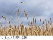 Пшеница. Стоковое фото, фотограф Абушкина Мария / Фотобанк Лори