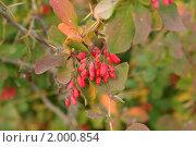 Купить «Красные ягоды барбариса», фото № 2000854, снято 25 сентября 2010 г. (c) Наталия Ефимова / Фотобанк Лори