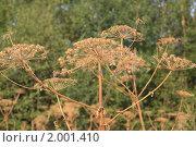 Купить «Борщевик», фото № 2001410, снято 12 августа 2010 г. (c) Erudit / Фотобанк Лори