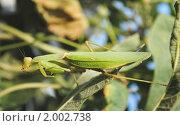Купить «Богомол обыкновенный (Mantis religiosa)», эксклюзивное фото № 2002738, снято 9 августа 2010 г. (c) Красилов Игорь / Фотобанк Лори
