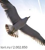Купить «Мечта о высоте. Большая чайка и маленький самолет в небе.», фото № 2002850, снято 3 мая 2008 г. (c) Ольга Липунова / Фотобанк Лори