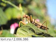 Купить «Богомол», фото № 2006386, снято 9 августа 2010 г. (c) Красилов Игорь / Фотобанк Лори