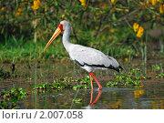 Купить «Аист-клювач (Mycteria ibis) на озере Найваша, Кения», фото № 2007058, снято 20 августа 2010 г. (c) Знаменский Олег / Фотобанк Лори