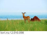 Купить «Тростниковый козел на озере Альберта, Уганда», фото № 2010098, снято 27 августа 2010 г. (c) Знаменский Олег / Фотобанк Лори
