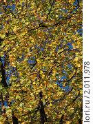Купить «Желтые листья липы», эксклюзивное фото № 2011978, снято 10 сентября 2009 г. (c) lana1501 / Фотобанк Лори
