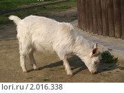 Купить «Белый козленок около забора», фото № 2016338, снято 19 апреля 2006 г. (c) Ольга Липунова / Фотобанк Лори