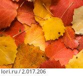 Осенние листья осины, фон. Стоковое фото, фотограф Светлана Илькова / Фотобанк Лори