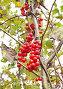 Лиана лимонника китайского с красными плодами, фото № 2017522, снято 30 марта 2017 г. (c) Севостьянова Татьяна / Фотобанк Лори