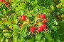 Плоды шиповника, фото № 2019678, снято 25 сентября 2010 г. (c) Лукаш Дмитрий / Фотобанк Лори