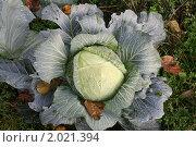 Купить «Кочан капусты», фото № 2021394, снято 2 октября 2010 г. (c) тб / Фотобанк Лори