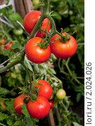 Купить «Помидоры красные, спелые на ветке», фото № 2024026, снято 16 июля 2010 г. (c) Jumbo / Фотобанк Лори