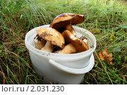 Купить «Ведро белых», фото № 2031230, снято 12 сентября 2010 г. (c) Елена Ильина / Фотобанк Лори