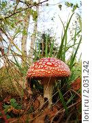 Купить «Мухомор (лат. Amanita)», фото № 2031242, снято 12 сентября 2010 г. (c) Елена Ильина / Фотобанк Лори