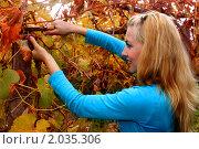 Молодая девушка убирает виноград секатором. Стоковое фото, фотограф Евгений Курлыкин / Фотобанк Лори