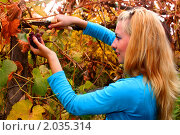 Молодая девушка убирает виноград ранней осенью. Стоковое фото, фотограф Евгений Курлыкин / Фотобанк Лори