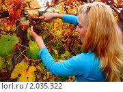 Молодая девушка срезает виноград по осени. Стоковое фото, фотограф Евгений Курлыкин / Фотобанк Лори