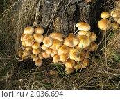 Купить «Осенние опята», фото № 2036694, снято 21 сентября 2010 г. (c) Плотников Михаил / Фотобанк Лори