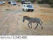 Купить «Молодая зебра переходит дорогу перед автомобилями с туристами, Кения», фото № 2040486, снято 20 августа 2010 г. (c) Знаменский Олег / Фотобанк Лори