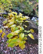 Осенние листья хосты. Стоковое фото, фотограф Ольга Крупская / Фотобанк Лори