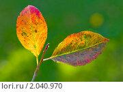 Купить «Осенний лист аронии», эксклюзивное фото № 2040970, снято 9 октября 2010 г. (c) Александр Алексеев / Фотобанк Лори