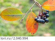 Купить «Арония (черноплодная рябина)», эксклюзивное фото № 2040994, снято 9 октября 2010 г. (c) Александр Алексеев / Фотобанк Лори