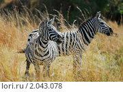 Купить «Зебры в высокой траве, Кения», фото № 2043078, снято 21 августа 2010 г. (c) Знаменский Олег / Фотобанк Лори