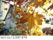 Жёлтый кленовый лист. Стоковое фото, фотограф Строкина Валерия / Фотобанк Лори