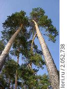 Купить «Высокие сосны», фото № 2052738, снято 2 июня 2010 г. (c) Юлия Белоусова / Фотобанк Лори