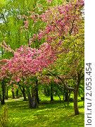 Купить «Розовая вишня в цвету», фото № 2053454, снято 6 мая 2010 г. (c) ИВА Афонская / Фотобанк Лори
