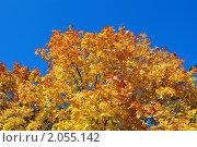 Купить «Листва клёна осенью», эксклюзивное фото № 2055142, снято 3 октября 2009 г. (c) Ольга Пашкова / Фотобанк Лори