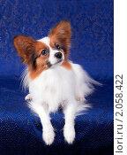 Купить «Папильон — собака-бабочка», фото № 2058422, снято 8 октября 2010 г. (c) Сергей Лаврентьев / Фотобанк Лори