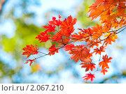 Осенний лист кленовый- резной. Стоковое фото, фотограф Анастасия Шелестова / Фотобанк Лори