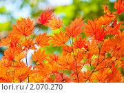 Кленовые листочки в осеннем лесу. Стоковое фото, фотограф Анастасия Шелестова / Фотобанк Лори
