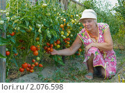 Купить «Выращивание помидоров в открытом грунте», фото № 2076598, снято 29 июля 2010 г. (c) Александр Романов / Фотобанк Лори