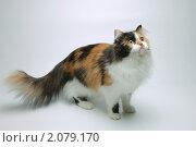 Трехцветная кошка. Стоковое фото, фотограф Юрий Бульший / Фотобанк Лори
