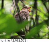 Поющий соловей на дереве. Стоковое фото, фотограф Сергей Зуев / Фотобанк Лори